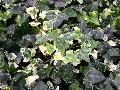 Dealbata English Ivy / Hedera helix