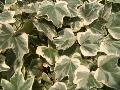 Glacier English Ivy / Hedera helix