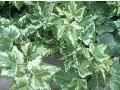 Golden Ingot English Ivy / Hedera helix
