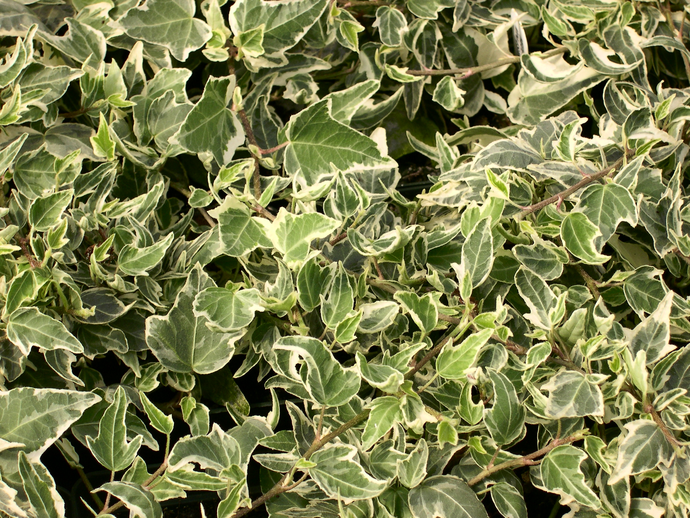 Hedera helix 'Mini Esther'   / Hedera helix 'Mini Esther'