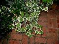 Variegated English Ivy / Hedera helix