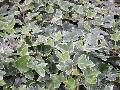 William Kennedy English Ivy / Hedera helix