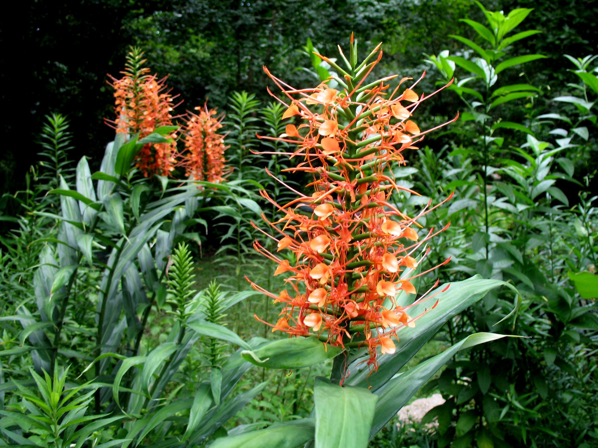 Hedychium species / Ginger