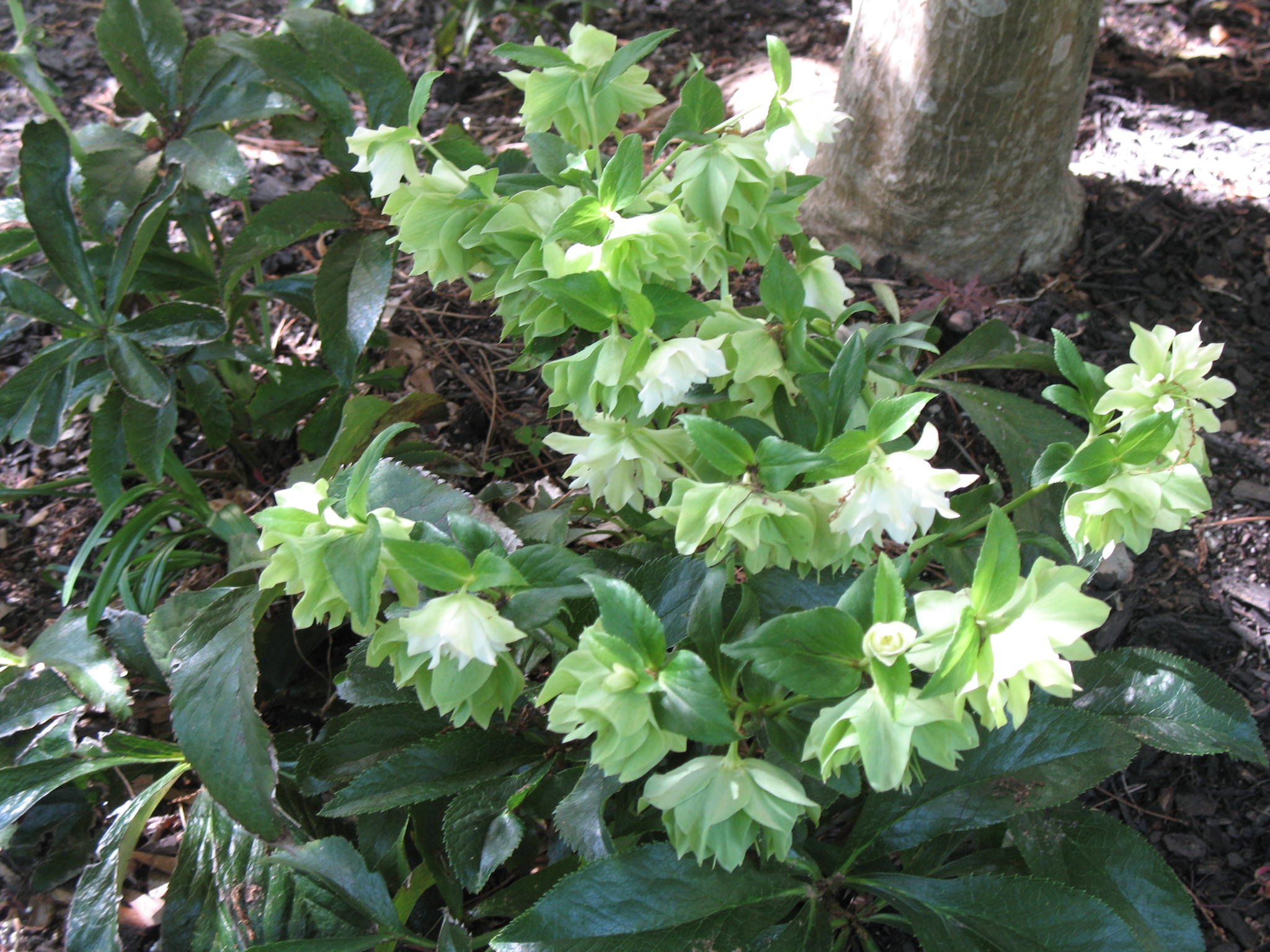 Top 28 lenten plant leaves of lenten rose nature photo gallery hgic 1185 lenten rose - When to plant roses ...