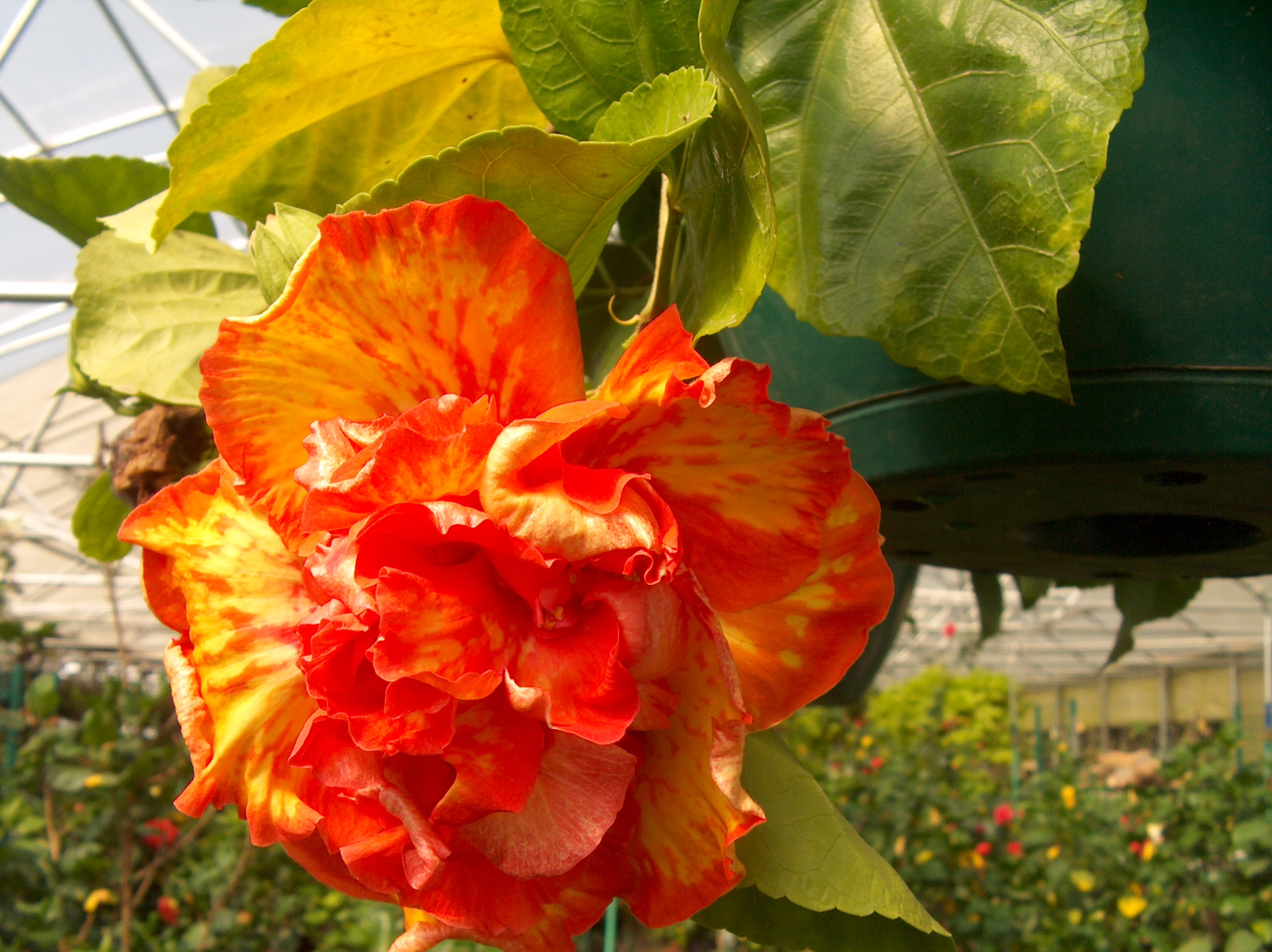 Online Plant Guide - Hibiscus rosa-sinensis 'High Definition