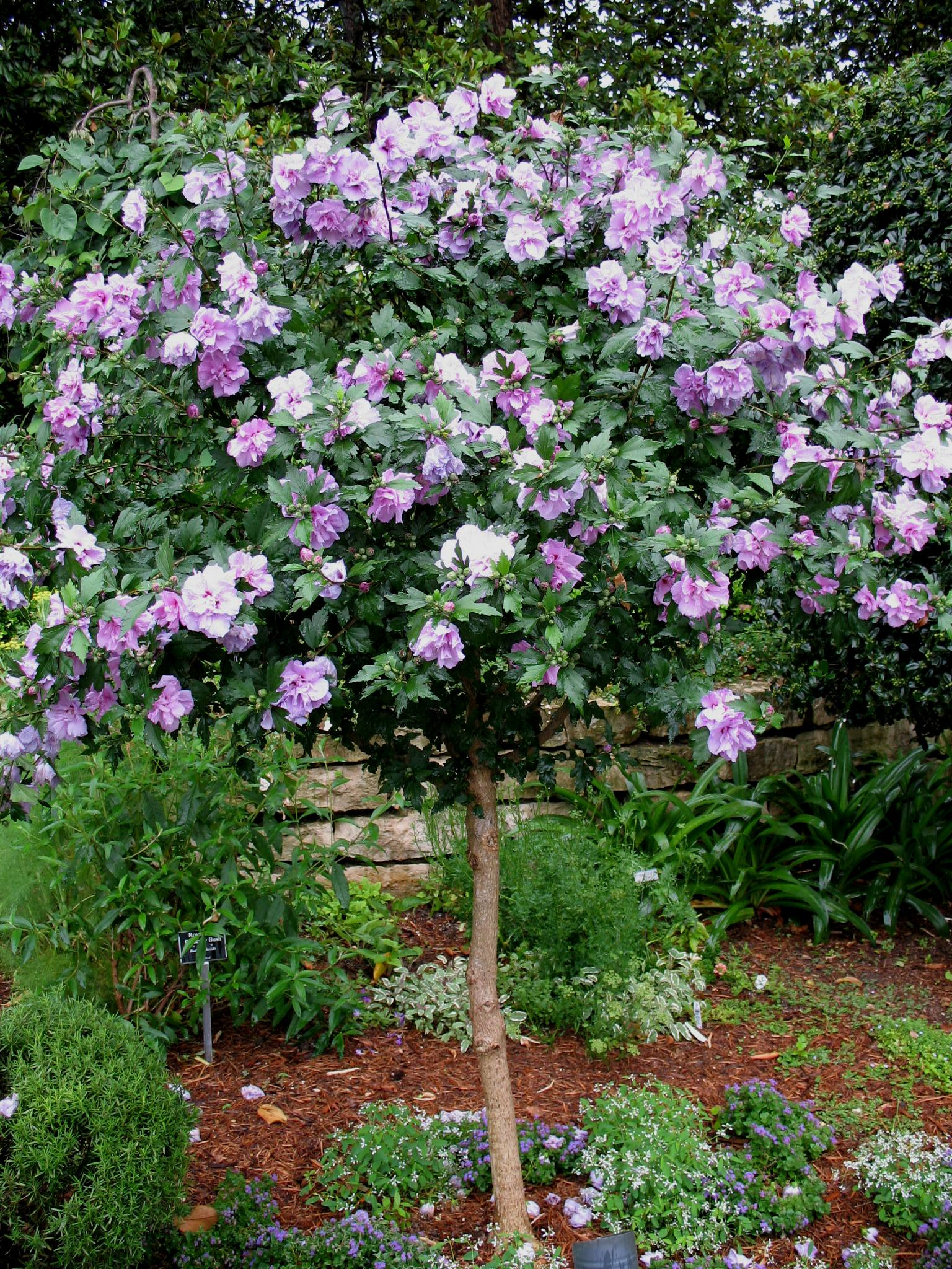 online plant guide hibiscus syriacus 39 ardens purple. Black Bedroom Furniture Sets. Home Design Ideas