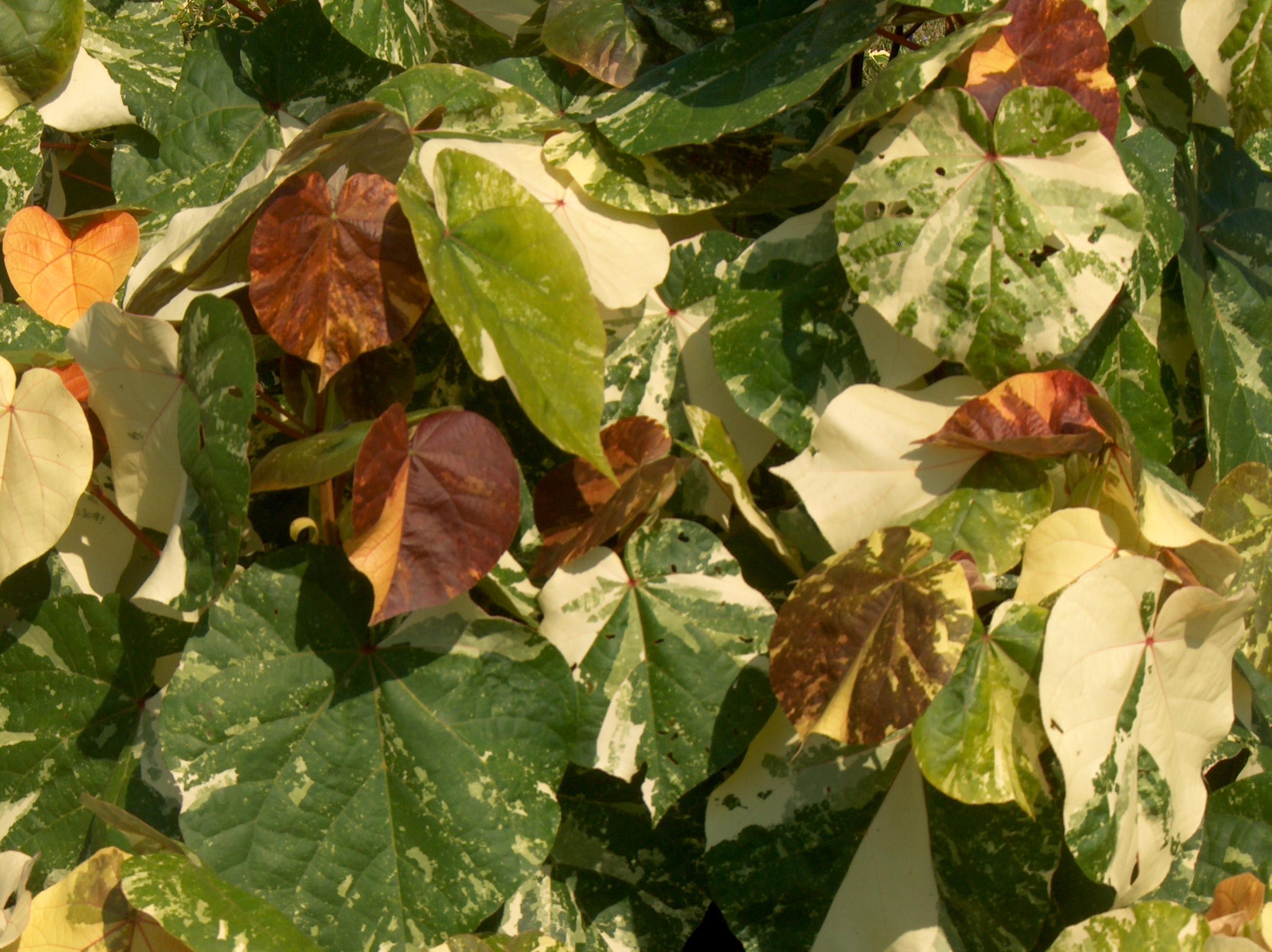 Hibiscus tiliaceus 'Variegata' / Hibiscus tiliaceus 'Variegata'