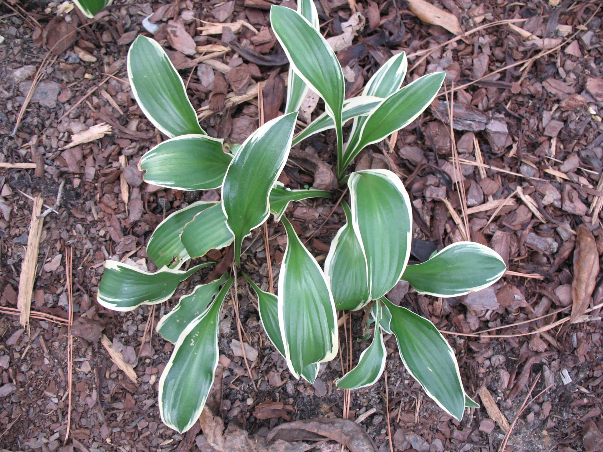 Hosta 'Bold Ribbons'   / Hosta 'Bold Ribbons'