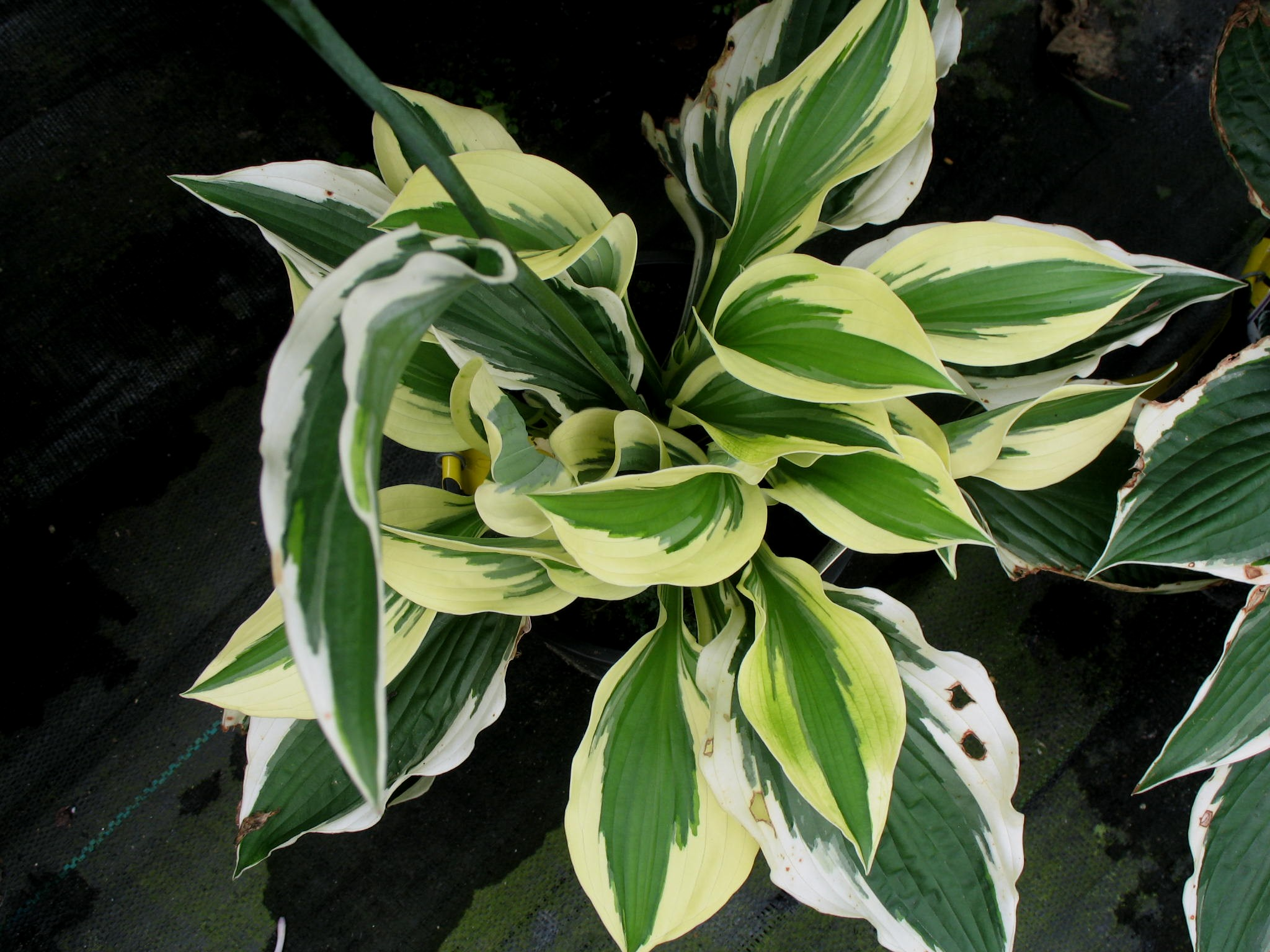 Hosta 'Patriot'   / Hosta 'Patriot'