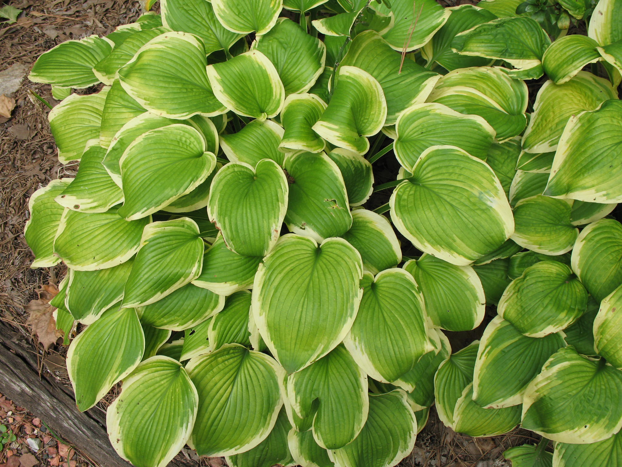 Hosta 'Shade Fanfare'   / Hosta 'Shade Fanfare'