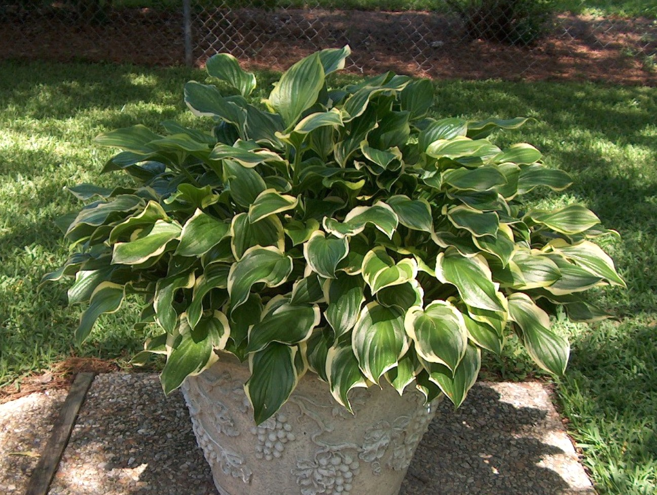 Hosta 'So Sweet' / Hosta 'So Sweet'