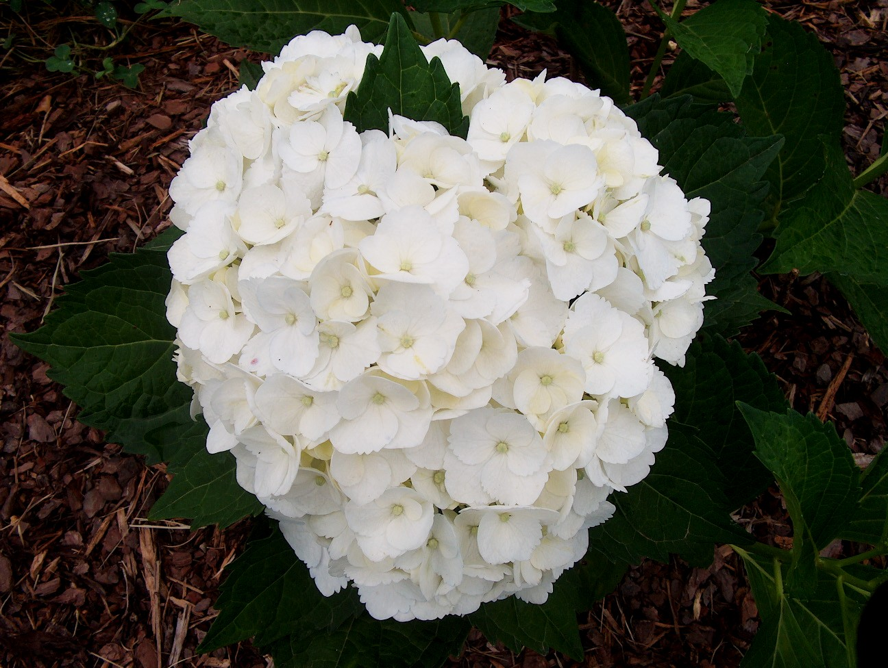 Hydrangea macrophylla 'Madame Emile Mouillere' / Hydrangea macrophylla 'Madame Emile Mouillere'