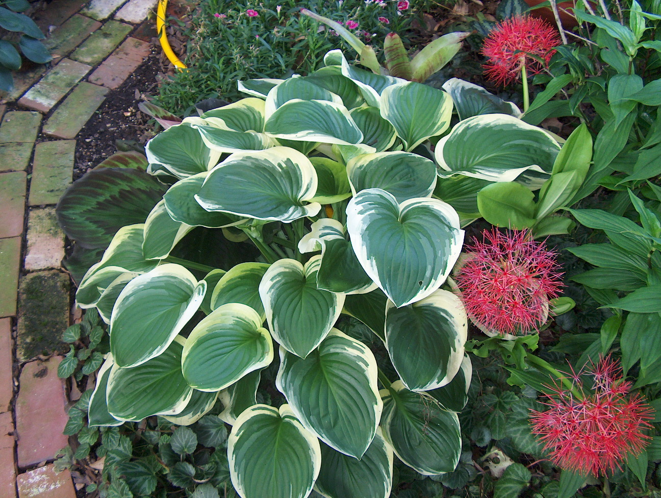 Hosta 'Princess Diana'   / Hosta 'Princess Diana'