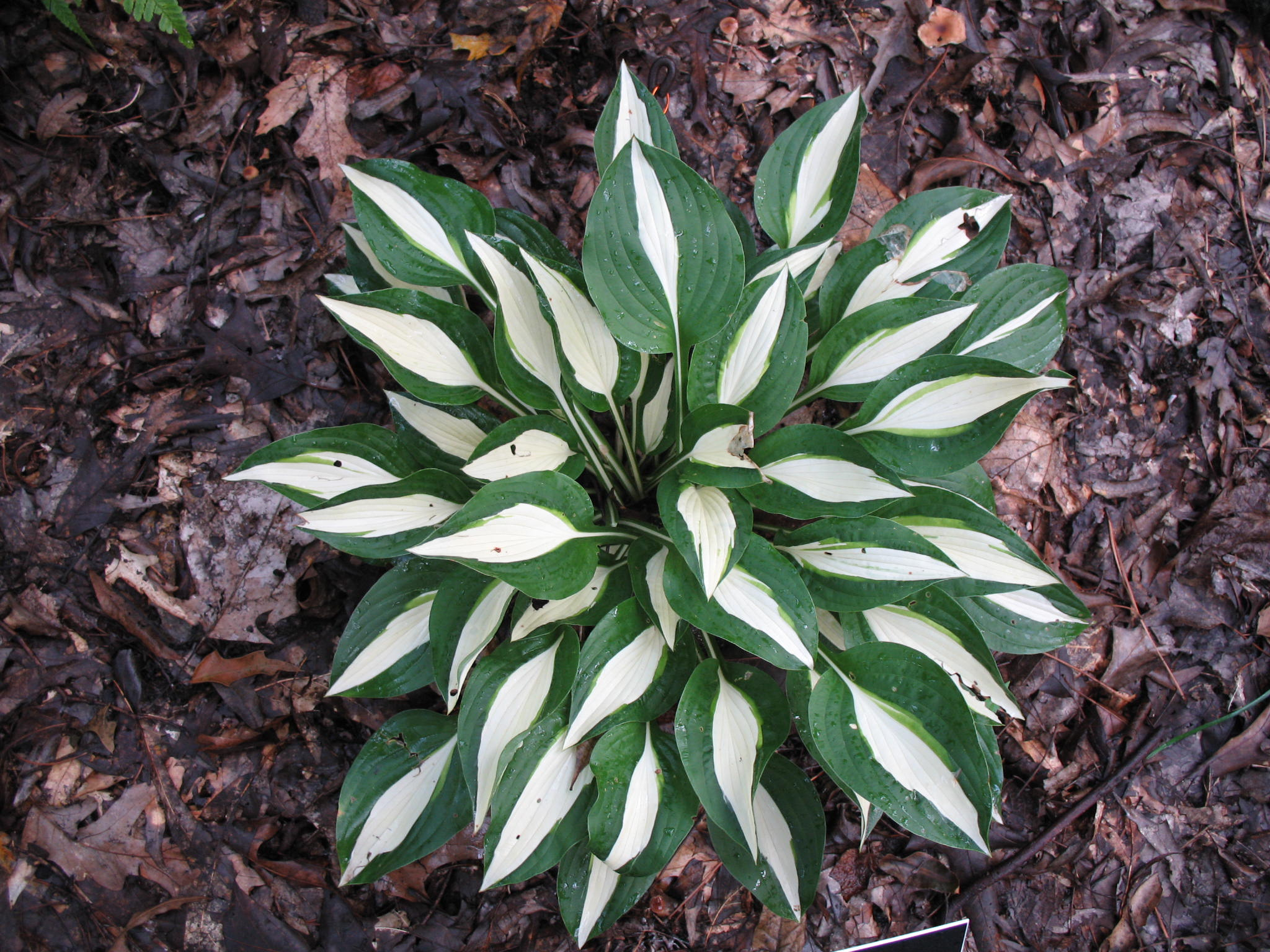 Hosta 'Risky Business' / Hosta 'Risky Business'