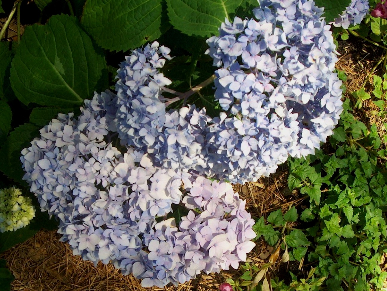 Hydrangea macrophylla 'Endless Summer'   / Hydrangea macrophylla 'Endless Summer'