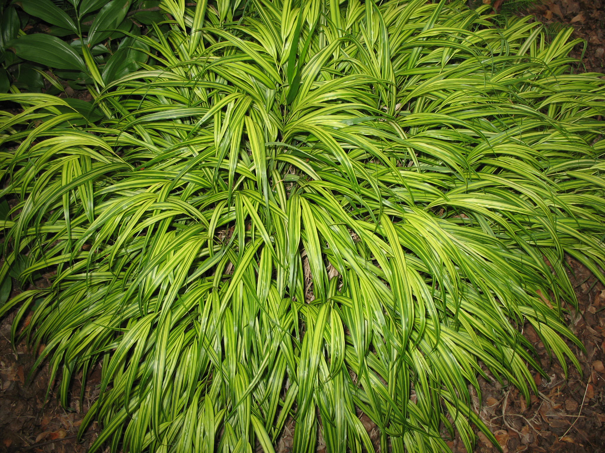 Japanese forest grass aureola the image for Japanese grass
