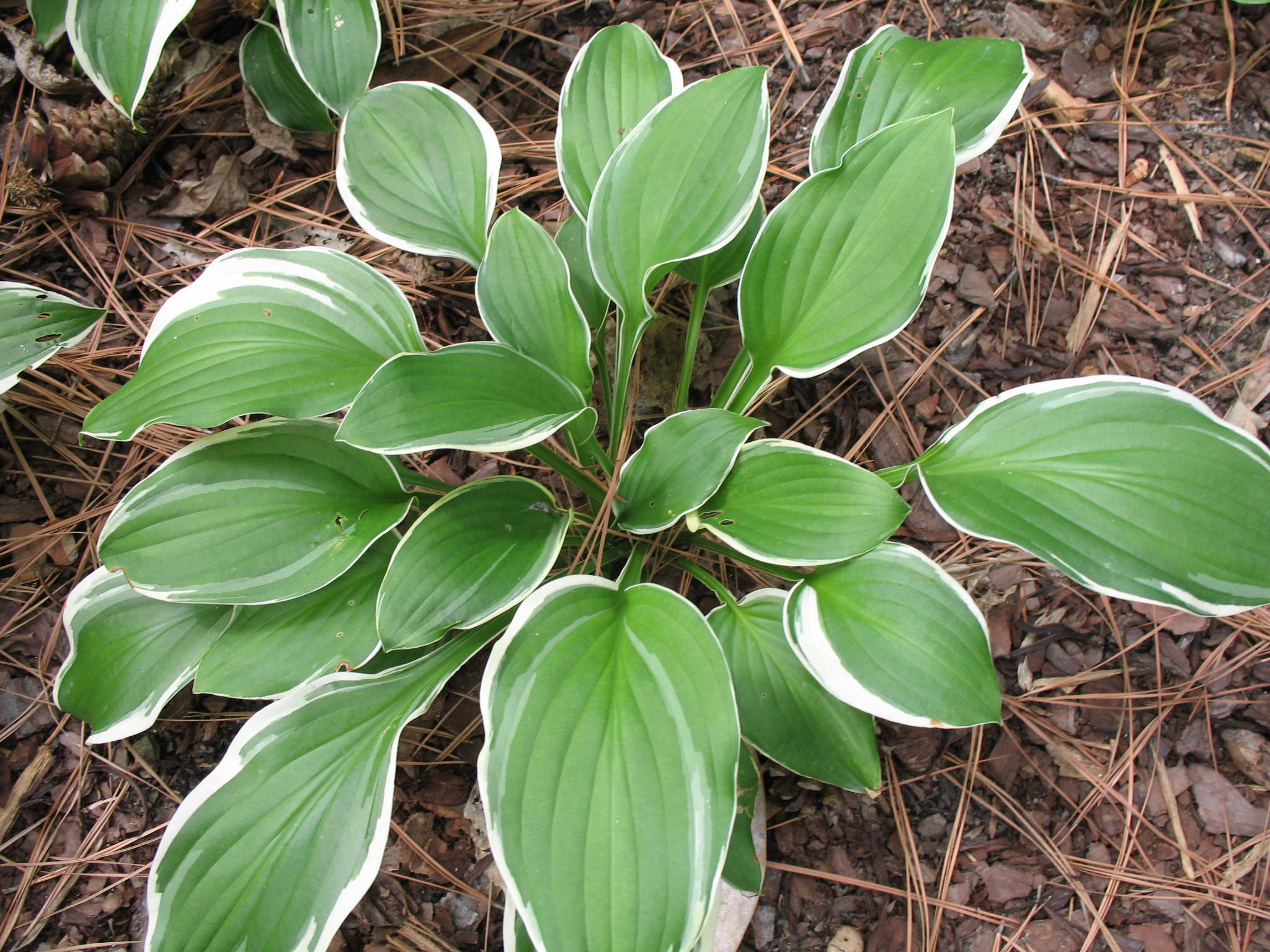 Hosta 'Summer Fragrance'   / Hosta 'Summer Fragrance'