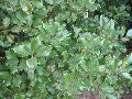 English Holly / Ilex aquifolium