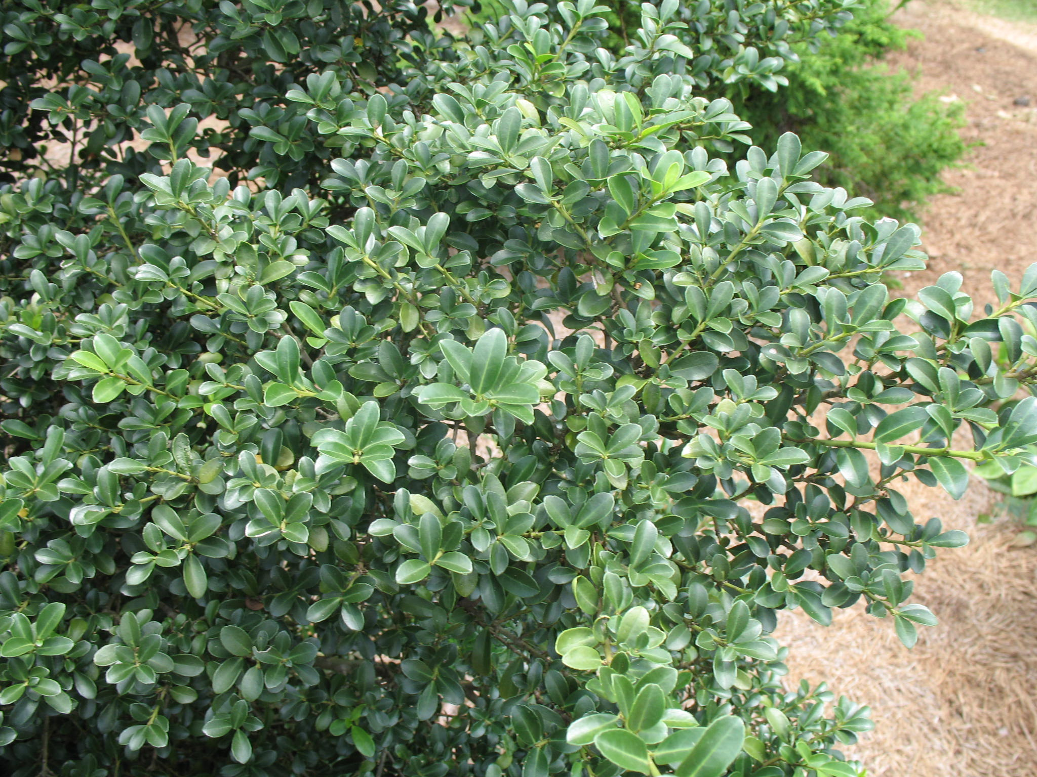 Ilex crenata 'Jersey Pinnacle'   / Ilex crenata 'Jersey Pinnacle'