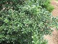 Jersey Pinnacle Holly / Ilex crenata
