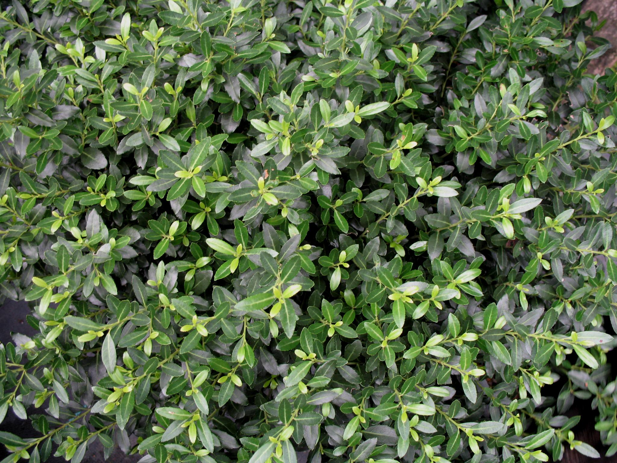 Ilex crenata 'Soft Touch'   / Soft Touch Japanese Holly