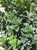Oakleaf Holly / Ilex x