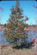 East Palatka Holly / Ilex x attenuata