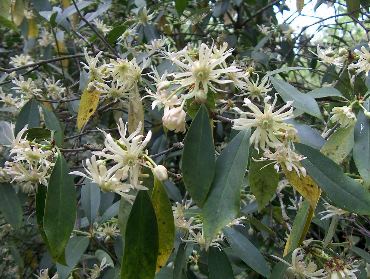 Illicium floridanum 'Alba'   / Illicium floridanum 'Alba'