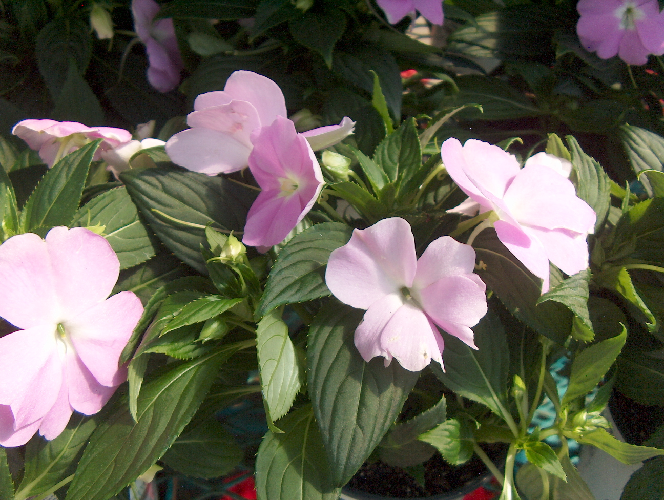 Impatiens 'New Guinea'  / Impatiens 'New Guinea'