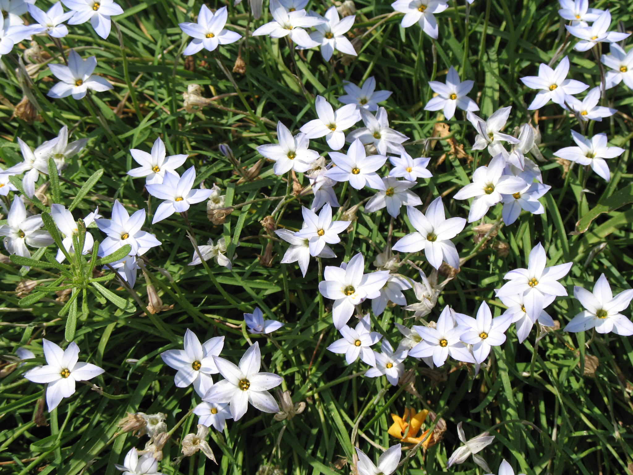 Ipheion uniflorum 'Wisley Blue'   / Ipheion uniflorum 'Wisley Blue'