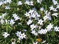 Spring Star Flower / Ipheion uniflorum