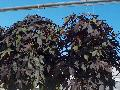 Blackie Sweet Potato Vine / Ipomoea batatas