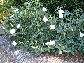 Railroad Vine / Ipomoea species