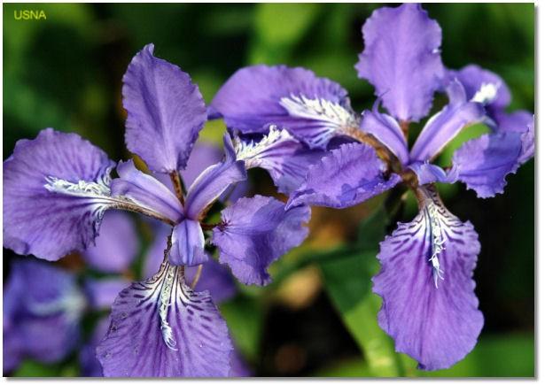 Iris tectorum   / Iris tectorum