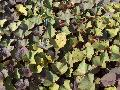 Ace of Spades Sweet Potato Vine / Ipomoea batatas