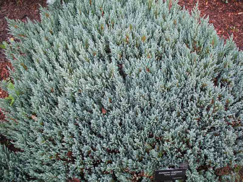 Juniperus virginiana ''Grey Owl'   / Juniperus virginiana ''Grey Owl'