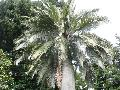 Chilean Wine Palm, Coquito Palm, Honey Palm / Jubaea chilensis