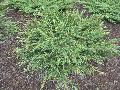 Green Carpet Juniper / Juniperus communis