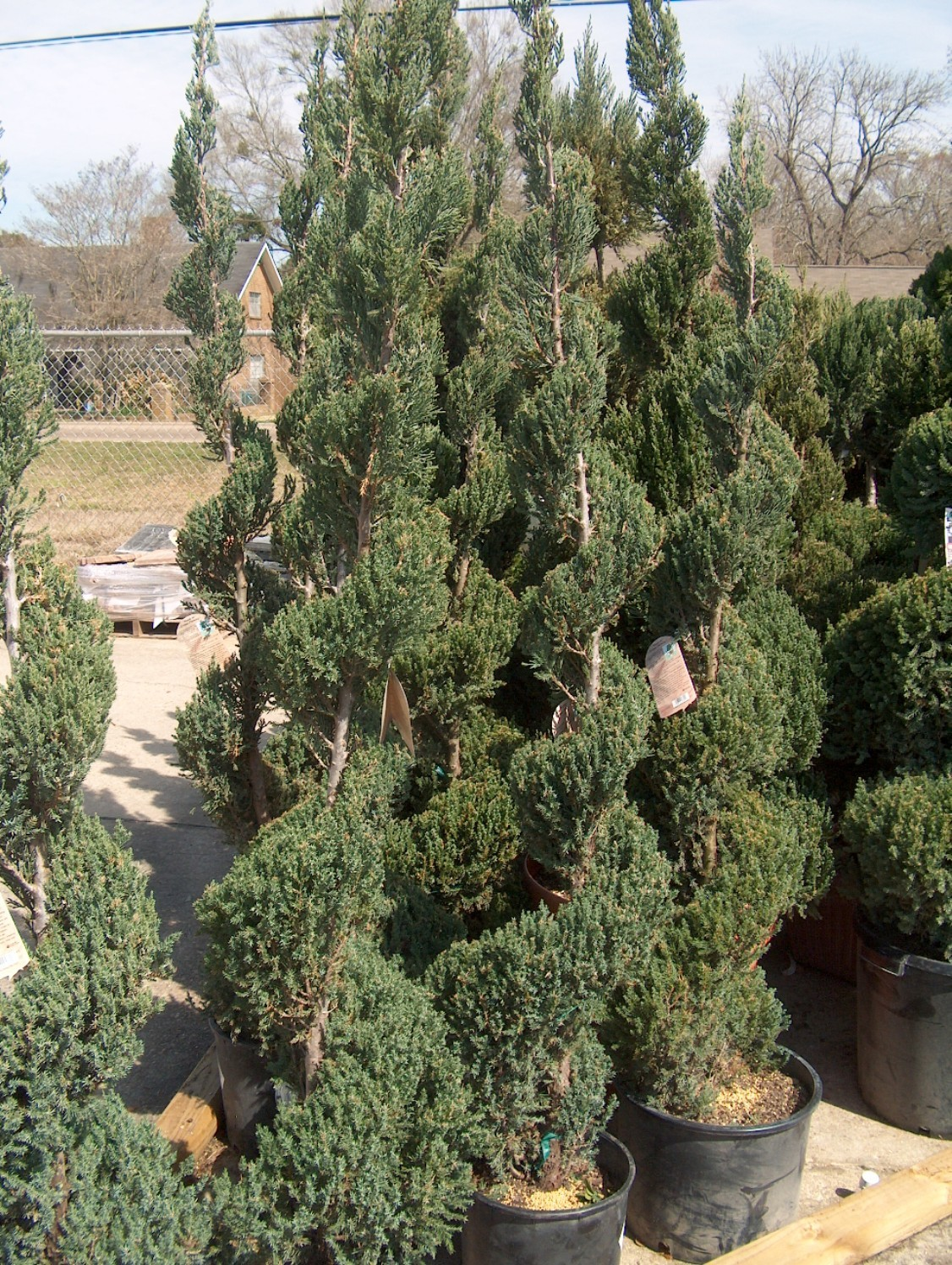 Juniperus chinensis 'Blue Point'  / Juniperus chinensis 'Blue Point'