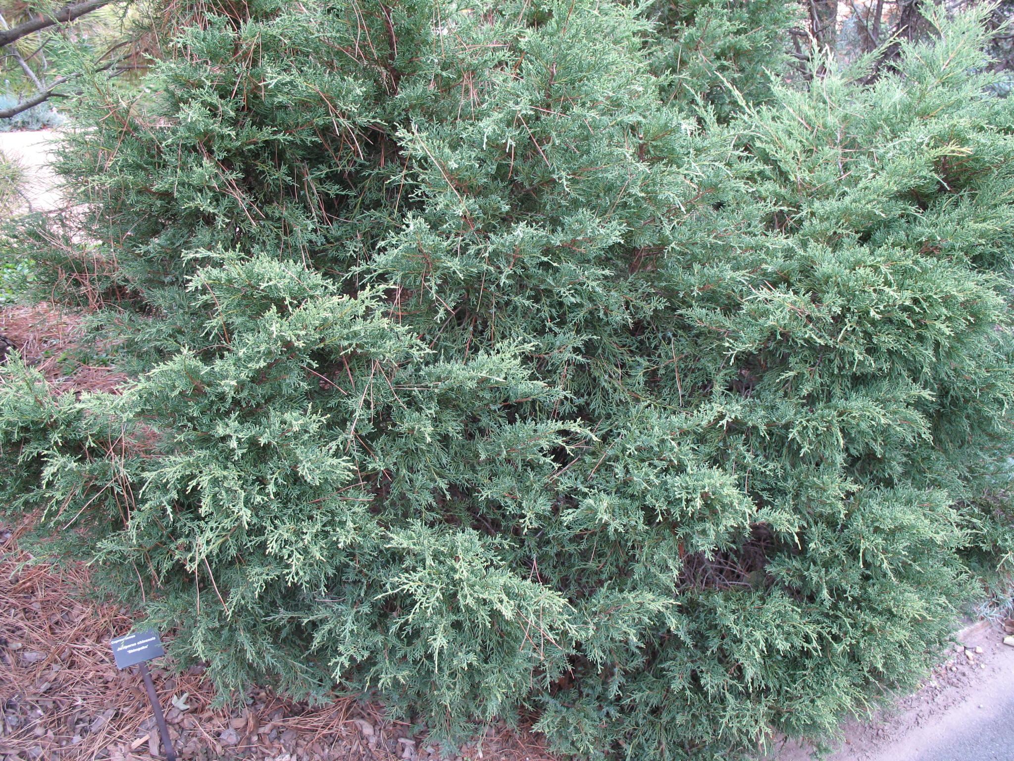 Juniperus chinensis 'Shimpaku'   / Juniperus chinensis 'Shimpaku'