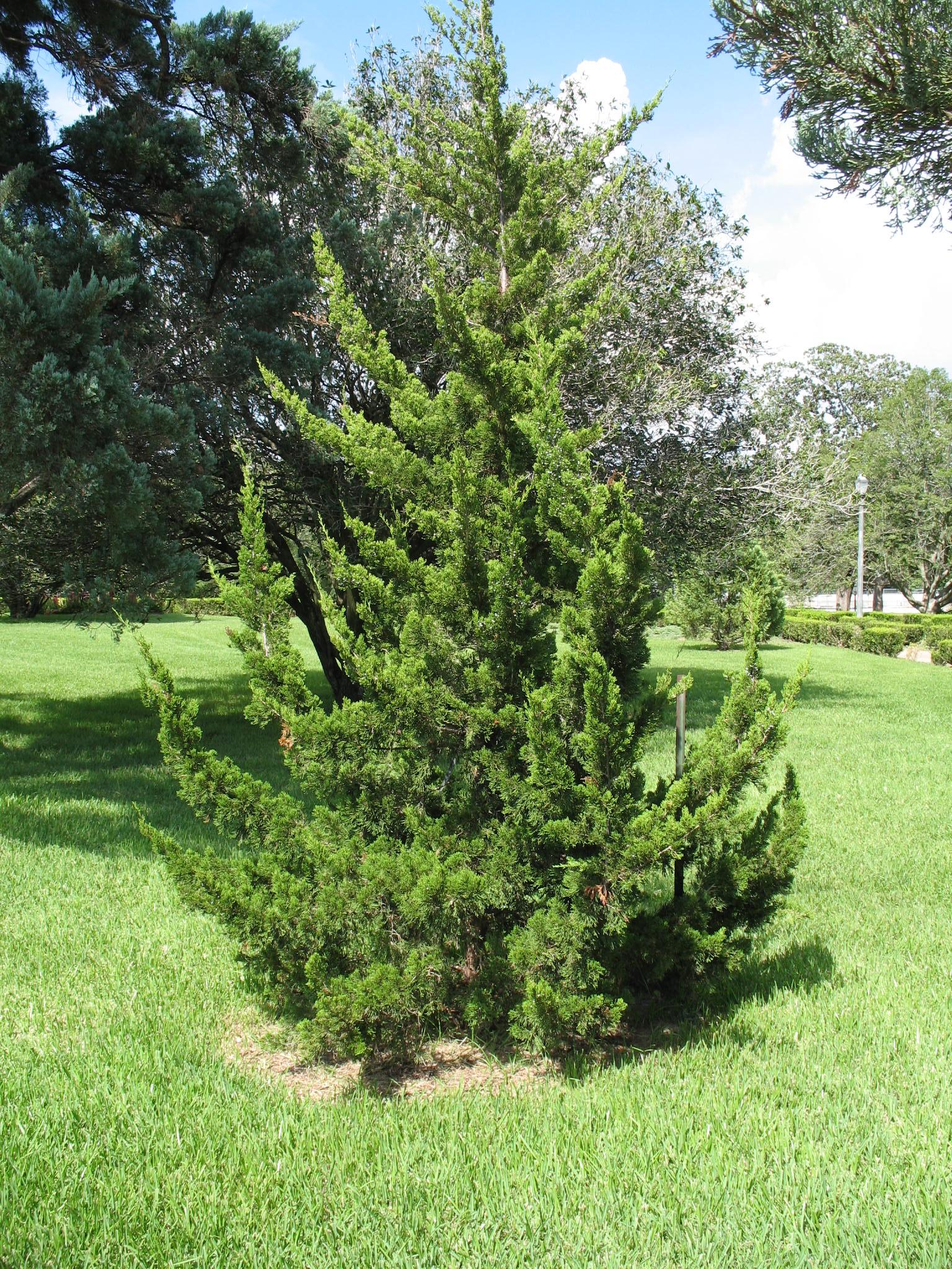 Juniperus virginiana 'Canaertii'   / Juniperus virginiana 'Canaertii'