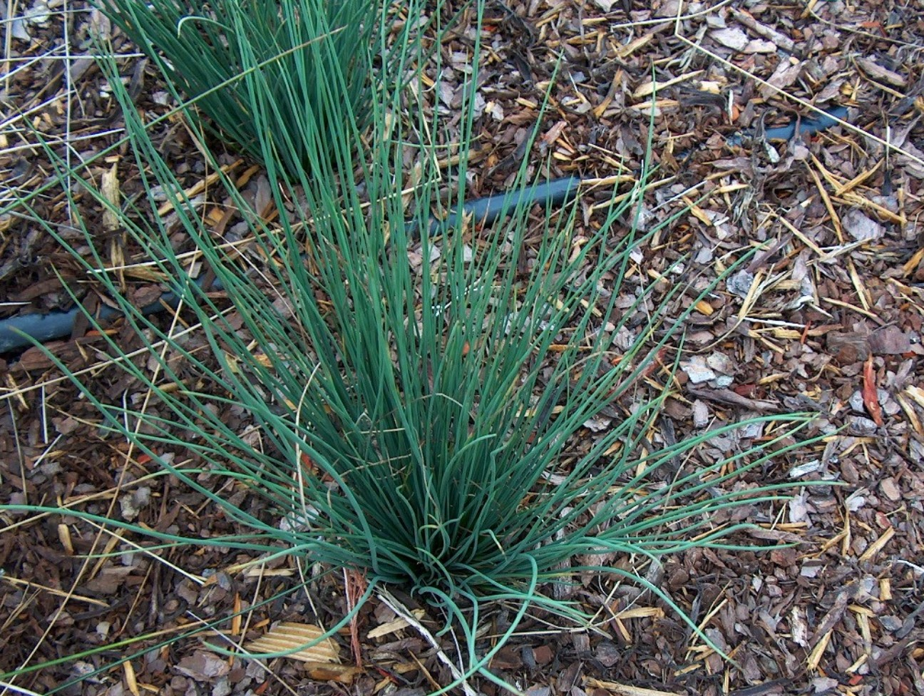 Juncus inflexus 'Blue Arrow'   / Juncus inflexus 'Blue Arrow'