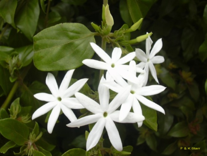 Jasminum multiflorum   / Jasminum multiflorum