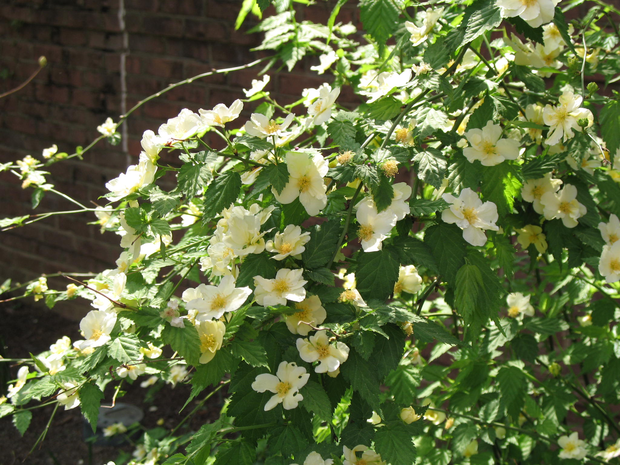 Online plant guide kerria japonica 39 albescens 39 white for Japanese garden flowering plants
