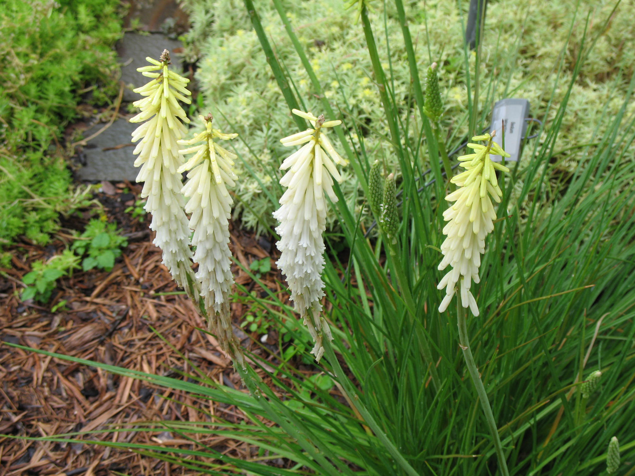 Kniphofia 'Little Maid'   / Kniphofia 'Little Maid'