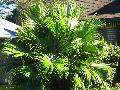 Chinese Fan Palm / Livistona chinensis