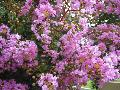 Hardy Lavender Crape Myrtle / Lagerstroemia indica