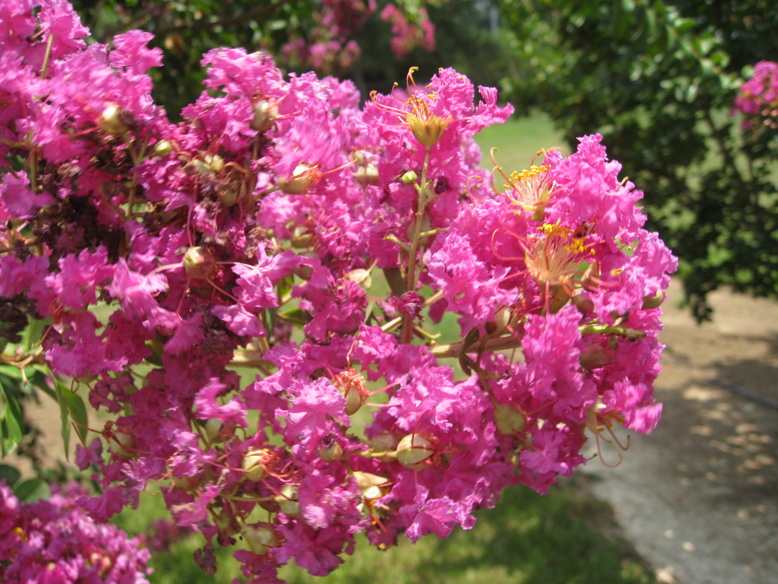 Lagerstroemia 'Twilight' / Lagerstroemia 'Twilight'