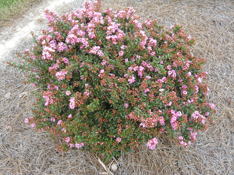 Lagerstroemia   Chicksaw' / Chickasaw Crape Myrtle