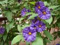Blue Potato Bush / Lycianthes rantonnetii